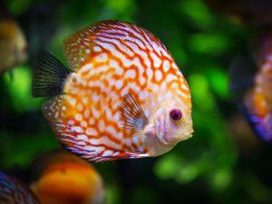 discus-fish-1943755