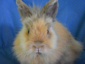 dwarf-rabbit-2655044